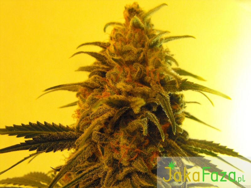 Fruity Chronic Juice nasiona marihuany