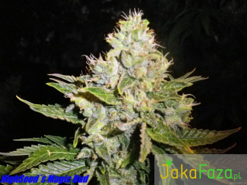 Magic Bud nasiona marihuany