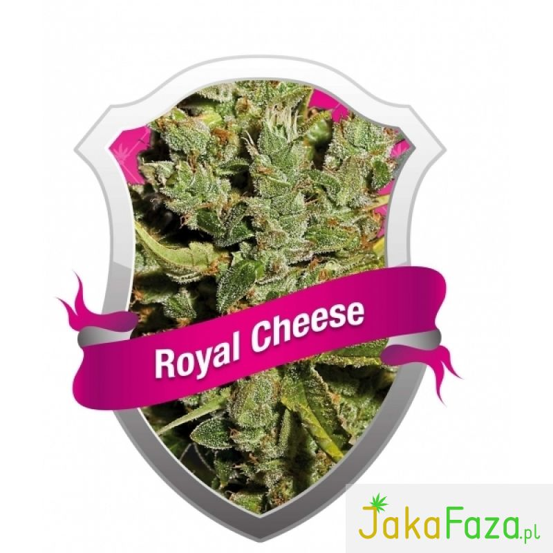 Royal Cheese nasiona marihuany