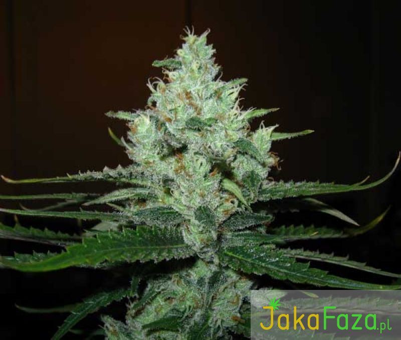 Super Lemon Haze nasiona marihuany