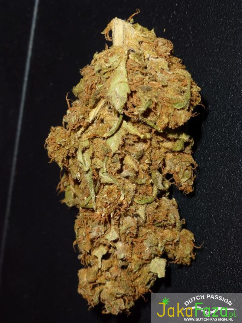 Strawberry Cough nasiona marihuany